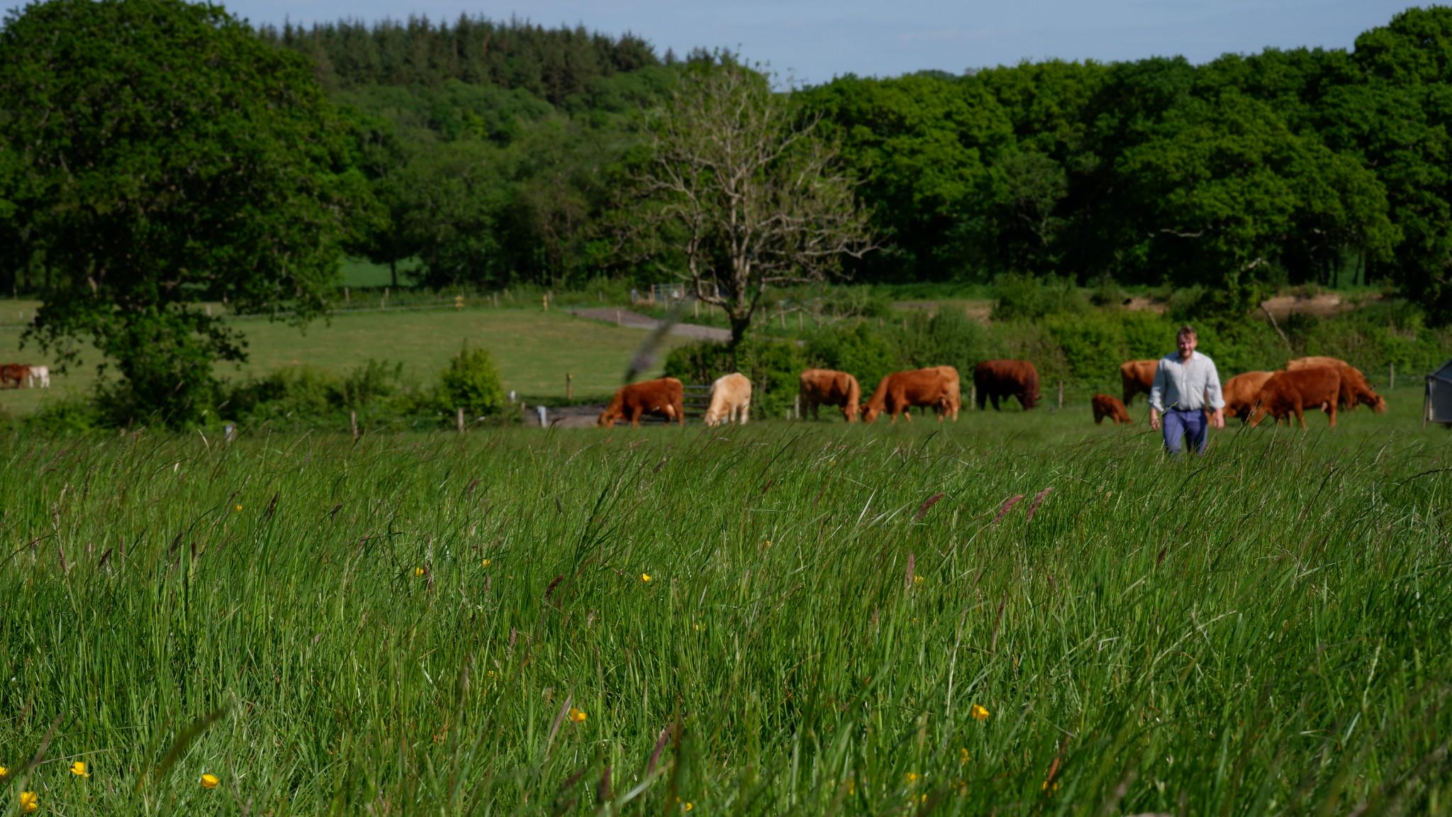 Carbon neutral beef farming in devon